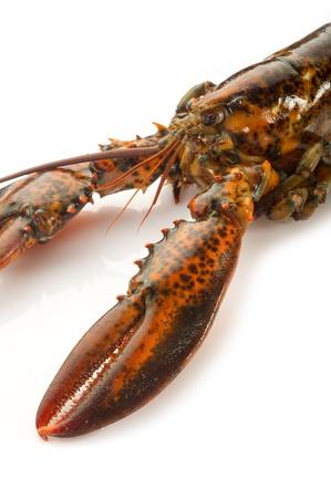 raw lobster: langosta cruda sobre fondo blanco Foto de archivo
