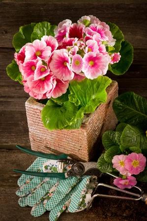 primrose: primrose and garden utensil on wood background Stock Photo