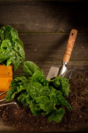 raw spinach fresh picked Stock Photo - 10405238