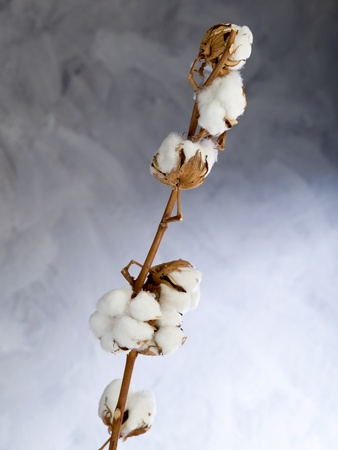organic cotton: cotton flower over branch
