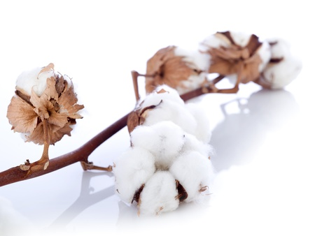 cotton plant: cotton flower over branch