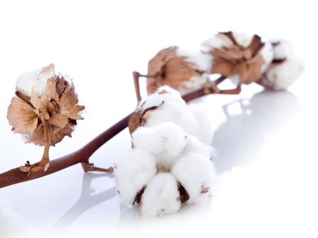 organic cotton: fiore di cotone al disopra del ramo Archivio Fotografico