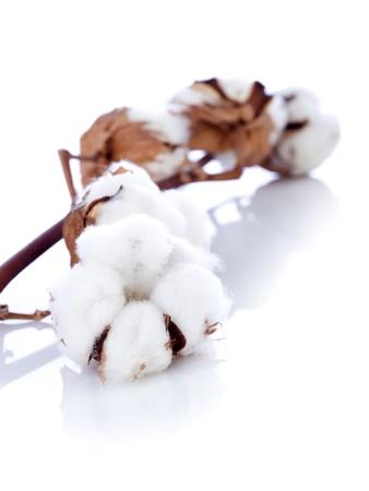 organic cotton: fiore di cotone ramo
