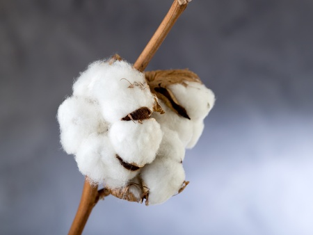 cotton flower: cotton flower over branch