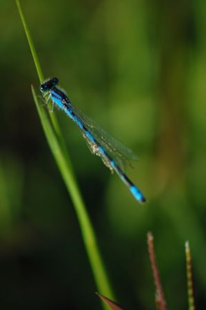 A blue dragonfly resting on a blade of grass photo