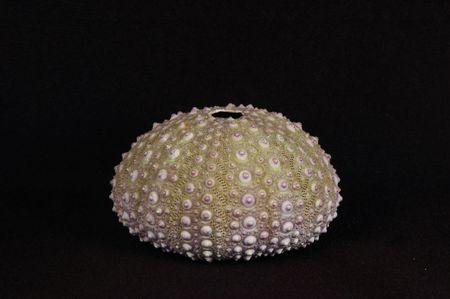 sea urchin shell, black background