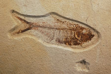 epoch: 47 million years old (Eocene Epoch) Dyplomystus herring fossil from the Green River formation in southwest Wyoming