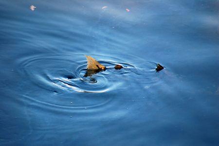 salmon going upstream to spawn photo
