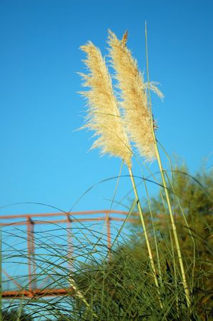 reed grass with a bridge crossing the river in the background photo