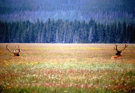 yellowstone: Elk in Yellowstone national park