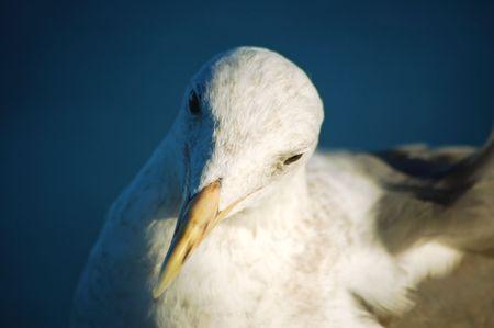 seagull on the santa cruz pier
