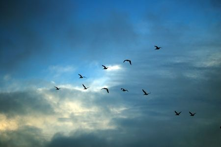 migrate: geese migrating for the winter