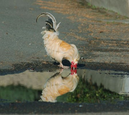 chickens drinking out of a puddle 版權商用圖片