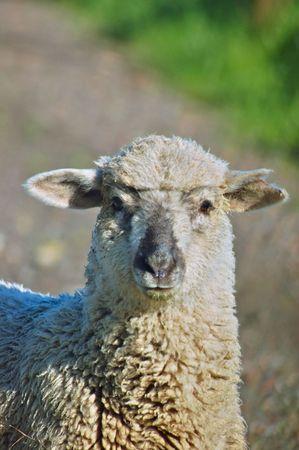 sheep portrait Фото со стока