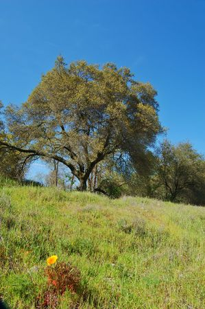 Oak tree in spring, with grass in the foreground Stock Photo - 360768