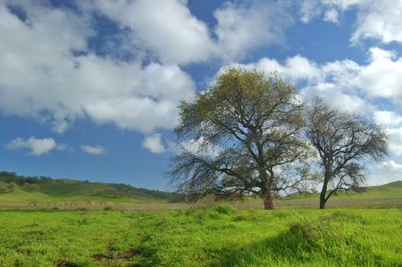 Oak tree in spring, with grass in the foreground photo