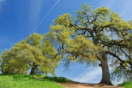 hillside: oak trees on a hillside in spring