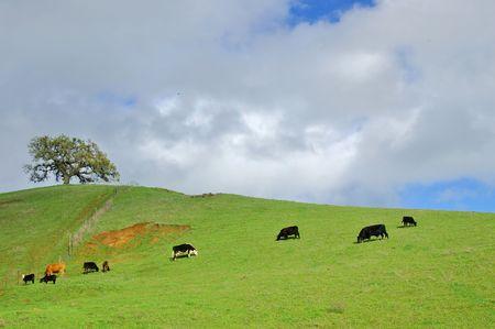 verdant green hillside in spring with cattel grazing photo