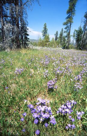 flowery summertime meadow in Yellowstone national park