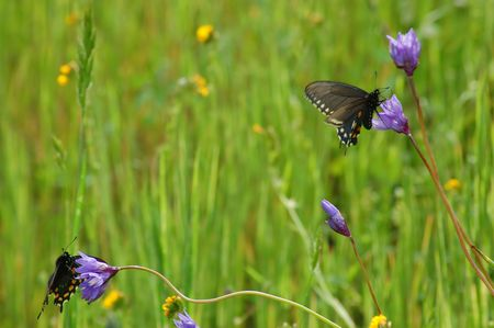 a pair of butterflies in a spring meadow