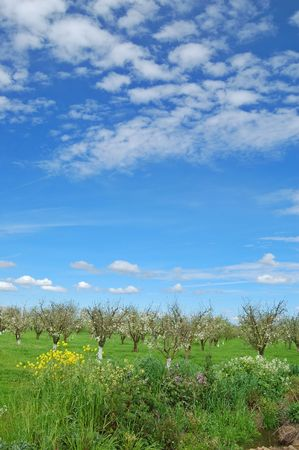 orchard in springtime photo