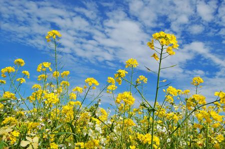 mustard plant: forest of flowers