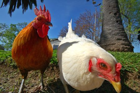 closeup of a hen and a rooster
