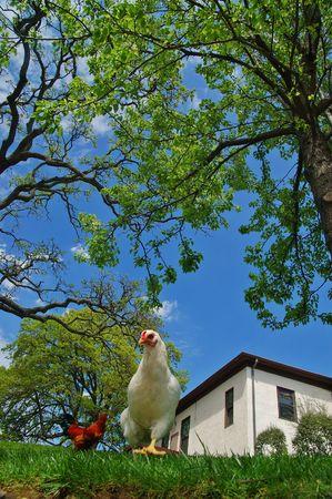雌鶏および鶏のクローズ アップ 写真素材