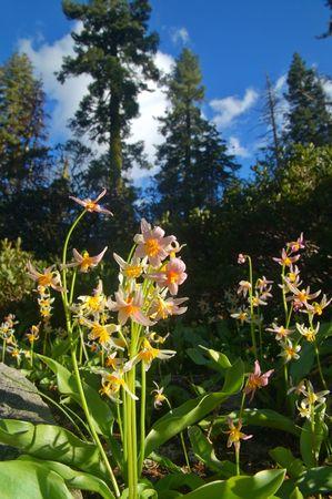 vegatation: Alpine Scenery in the Northern Sierra near Lake Tahoe Stock Photo