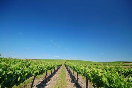 Northern California vineyard in spring