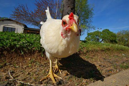 closeup of a chicken Stock Photo - 454392