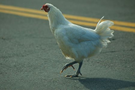 A chicken doing what people have been wondering about for centuries Stock Photo - 455819
