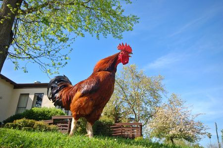 crowing: rooster crowing Stock Photo