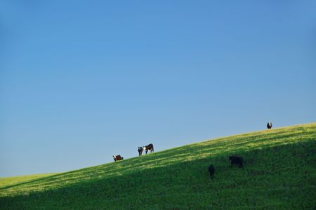 farming area: cattle grazing in an afternoon field in a farming area
