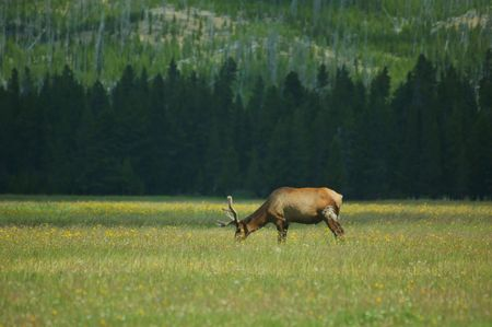 big moose: Elk Grazing in a meadow in Yellowstone National Parkl