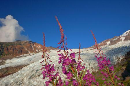 루팡 야생화는 워싱턴주의 산에서에서 빙하 앞의