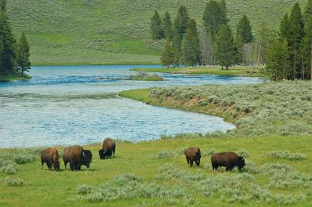 yellowstone: Bison in Yellowstone National Park