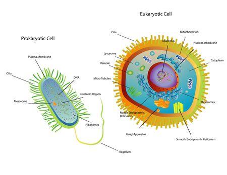 Dwarsdoorsnede diagram van de prokaryote en eukaryote cellen Stockfoto