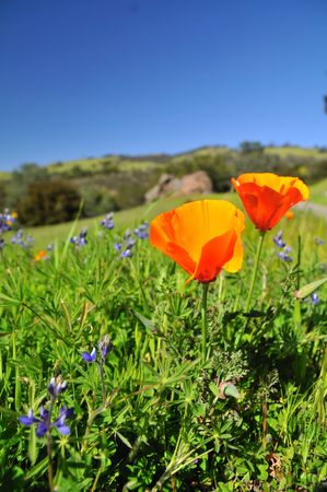 Poppy field in California in the spring time Stock Photo - 4596724