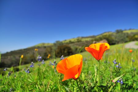Poppy field in California in the spring time Stock Photo - 4596723