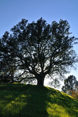 Oak tree silhouetted against the sunset in a verdant meadow on a spring day, Mt. Diablo state park, California Stock Photo - 4730979