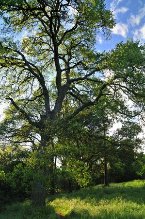 Oak tree against the sunset in a verdant meadow on a spring day Stock Photo - 4739111