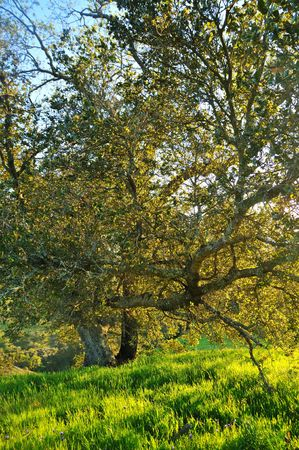 Oak tree against the sunset in a verdant meadow on a spring day Stock Photo - 4739112
