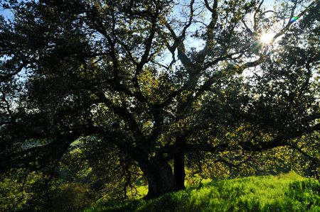 Oak tree silhouetted against the sunset in a verdant meadow on a spring day Stock Photo - 4759514