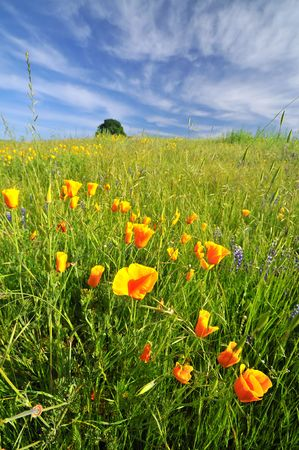 California poppies in a field under a dramatic spring sky Stock Photo - 5164240