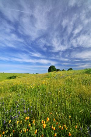 California poppies in a field under a dramatic spring sky Stock Photo - 5164241
