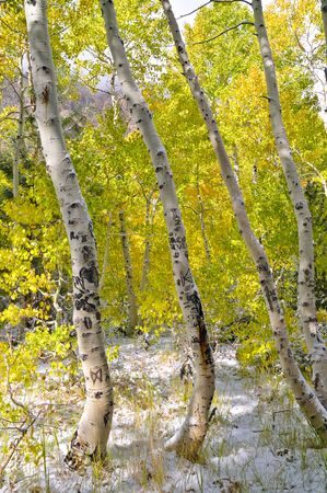 sierras: Aspens in the forest after a fresh early autumn snowfall Stock Photo