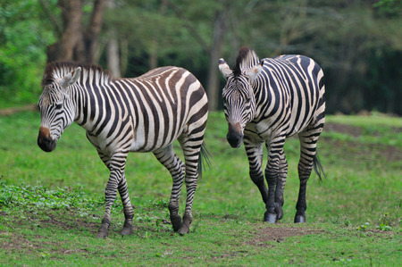 Zebras near Arusha Tanzania