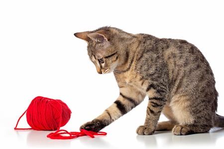 Bebé lindo gato tabby juega con la bola de hilo rojo sobre fondo blanco