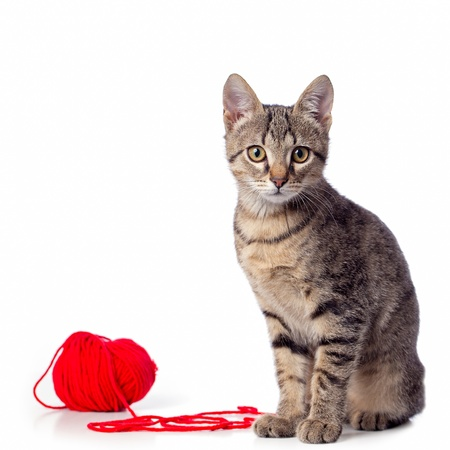 gray cat:  Cute baby tabby cat playing with ball of red yarn on white background